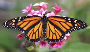 Monarch butterfly. Image source: http://www.inquisitr.com/388618/southwest-airlines-flies-late-blooming-monarch-butterfly-to-texas/
