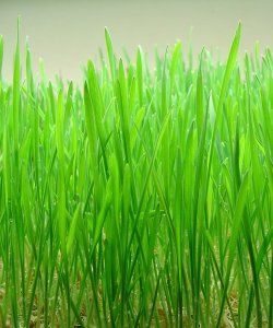 Shoots of wheat. Image sourced from http://en.wikipedia.org/wiki/Wheatgrass.